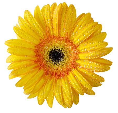 red gerber daisy: Flower buds of different colors on a white background with water drops on petals