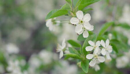 hemlock: Inflorescencia de flores blancas sobre un fondo verde. Día de primavera caliente.