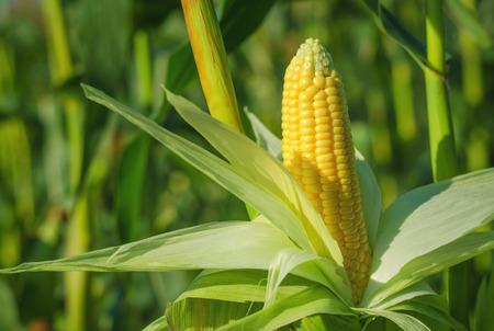 elote: Espiga de trigo en un campo de maíz en el verano antes de la cosecha. Foto de archivo