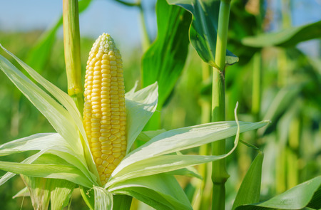 harvest field: Ear of corn in a corn field in summer before harvest. Stock Photo