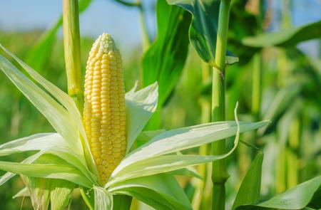 Oor van maïs in een maïsveld in de zomer voor de oogst. Stockfoto