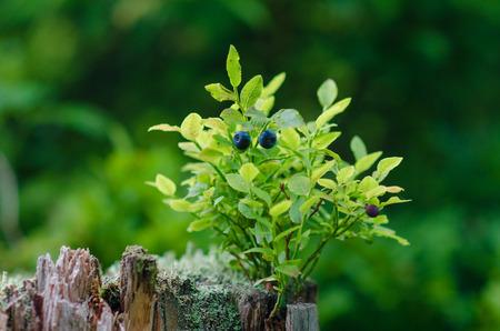 vegetative: Wild bilberries on green vegetative background in wood.
