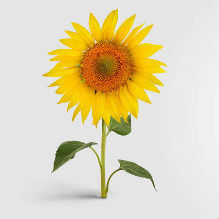A blossomed sunflower with golden petals, standing on a green stem with leaves, harvest object for organic products from seeds. Rural, horticultural, botany concept isolated on background