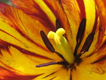 stigma: close up on a flower stigma Stock Photo