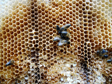 animal private: The photo shows beehive honey nectar hive swarm bees honeycomb wax private apiary wildlife animals bee wings beeswax.