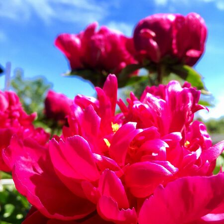 The photo shows blooming red flower, botanica peony with green leaves. Stock Photo