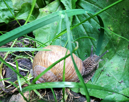 Big garden snail in shell crawling on wet road hurry home. Snail Helix consist of edible tasty food coiled shell to protect body. Natural animal snail in shell from slime can made nourishing cream. Banco de Imagens - 113600660