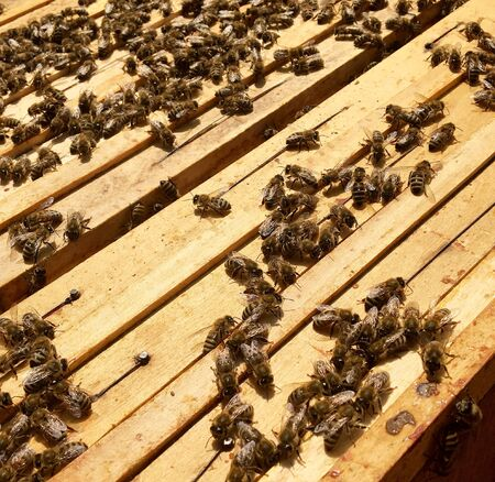 Winged bee slowly flies to beehive collect nectar on private apiary from live flowers. Apiary consisting of village beehive, floret dust on bee legs. Apiary it beehive for bees at background closeup. 写真素材