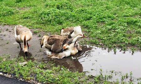 Family of white animals geese go to drink water from the pond. Geese walk on green grass together. Beautiful domestic geese in the village outdoors, wild bird goose and gander rush to drink wet liquid Imagens