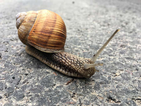 Small garden snail in shell crawling on wet road, slug hurry home. Snail slug consists of edible tasty food coiled shell to protect body. Natural animal snail in shell slug crawling in big wild nature. Stock Photo