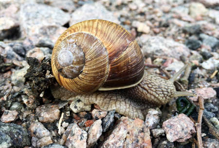 Small garden snail in shell crawling on wet road, slug hurry home. Snail slug consists of edible tasty food coiled shell to protect body. Natural animal snail in shell slug crawling in big wild nature.