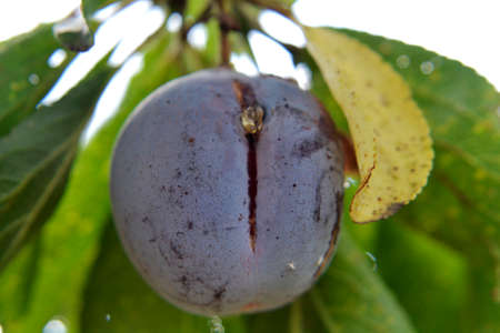 Photography from whole ripe fruit purple plum with green stem leaf, nature tasty meal. Plum photo consisting of natural fruit purple sweet raw food. Eat fresh organic fruit purple plum to good health. Banco de Imagens