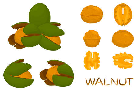 Illustration on theme big set different types walnut in nutshell, nut various size. Walnut pattern consisting of kit natural nut to nutshell for organic nutrition. Nutshell on walnut is yummy nut.