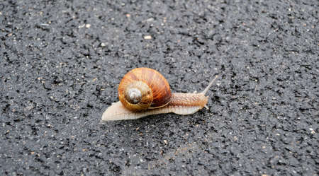 Big garden snail in shell crawling on wet road hurry home. Snail Helix consists of edible tasty food coiled shell to protect body. Natural animal snail in shell from slime can made nourishing cream.
