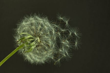 Mature dandelion seed closeup shot on dark background Stock Photo