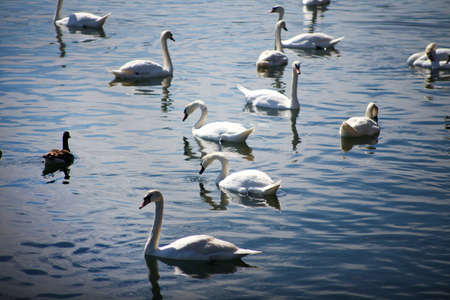 swans, blue water photo