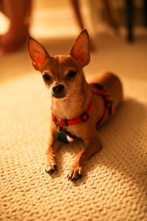 chihuahua dog on a carpet photo