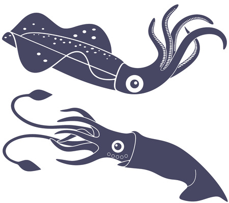 cephalopod: Squid Illustration