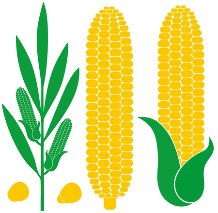 corn: Corn Illustration
