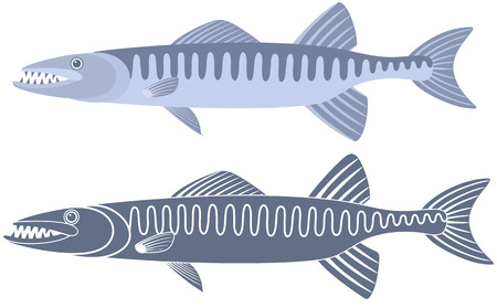 barracuda: Barracuda fish illustration