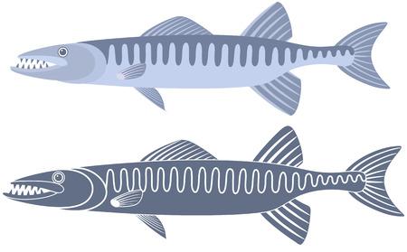 barracuda: Barracuda fish illustration