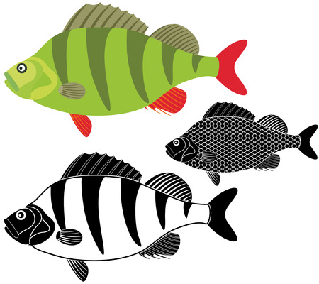 bass fish: Bass fish Illustration