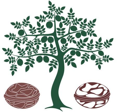 Walnut tree illustration  向量圖像