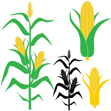 Corn illustration  向量圖像