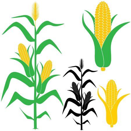 mazorca de maiz: Ma�z ilustraci�n