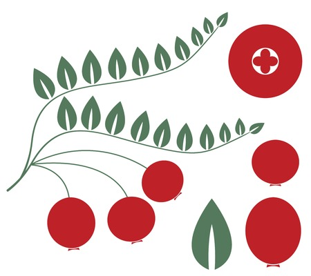 cranberry illustration: Cranberry illustration  Illustration