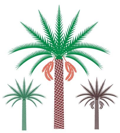 dattelpalme: Palme