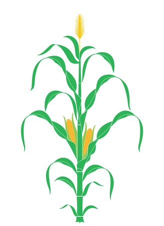 Tallo del maíz. Planta. Vector