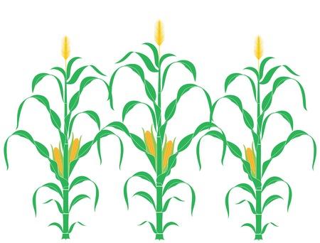 Steel van het graan. Maïs