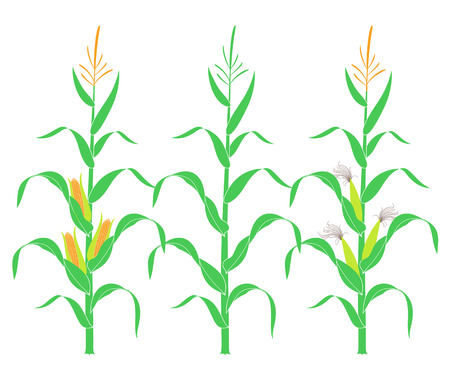 Corn stalk. Isolated corn on white background