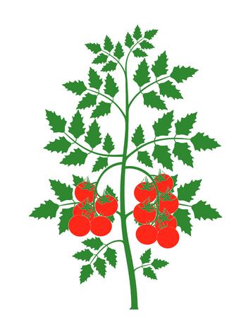 Tomatenplant. Geïsoleerde tomaat op witte achtergrond