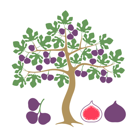 Vijgenboom Geïsoleerde fig. Op witte achtergrond