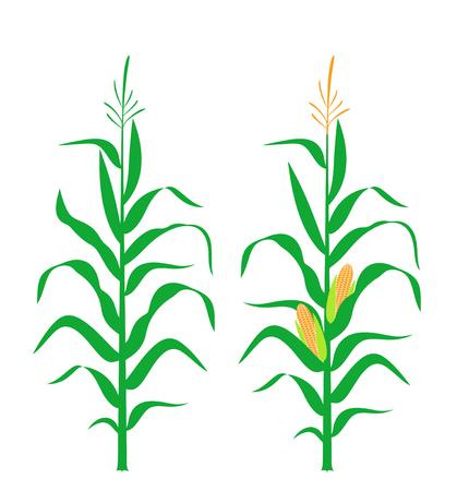 Tallo de maíz. Maíz aislado sobre fondo blanco.