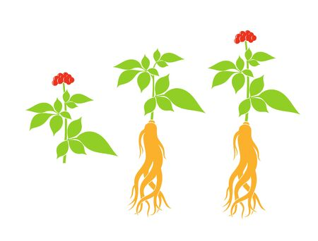 Ginseng plant. Isolated ginseng on white background