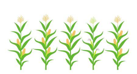 Feld mit Mais. Isolierter Mais auf weißem Hintergrund Vektorgrafik