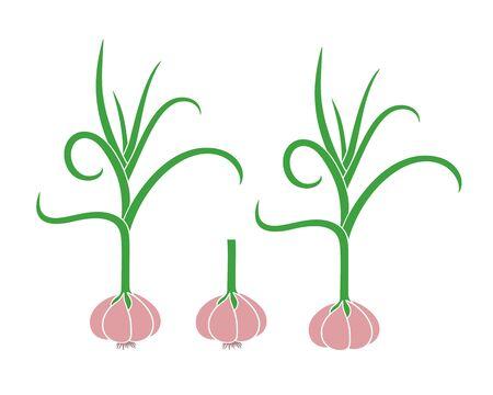 Garlic logo. Isolated garlic on white background