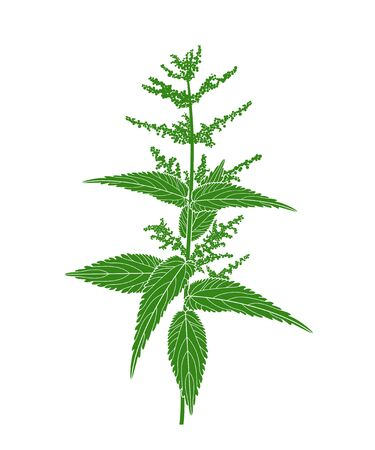 Nettle plant. Isolated nettle on white background Vectores