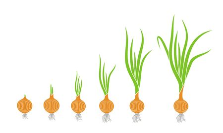 Crop stages of onion. Growing onion plants. Bulbs life cycle Vetores