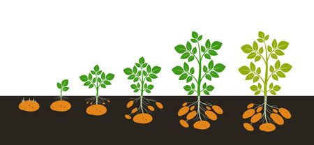 Crop stages of potatoes plant. Isolated harvest potato on white background