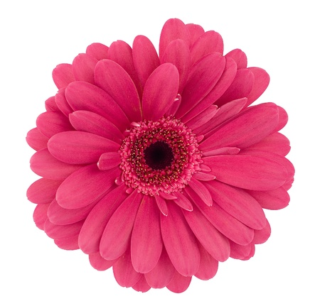 lilac-coloured gerbera