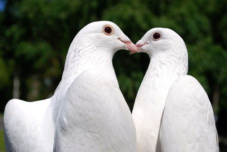 pigeons in love Stock Photo