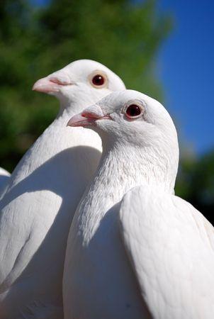 Tauben in Liebe 2 Lizenzfreie Bilder