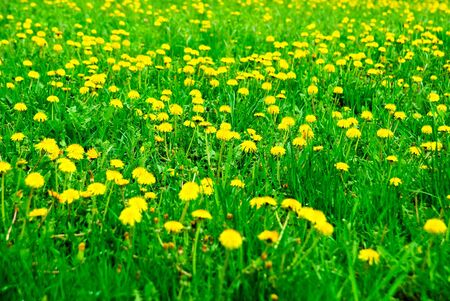 Meadow of dandelions in the spring
