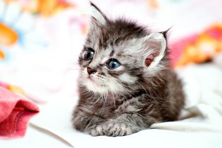 Beautiful stripy grey little kitten