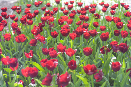 Beautiful red tulip flowers meadow, selective focus. Spring nature background.