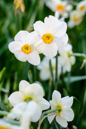 Beautiful white narcissus flowers meadow, selective focus. Spring nature background.